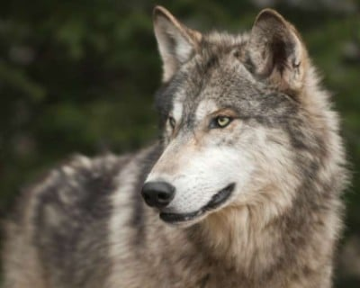 Why wolves can't be tamed