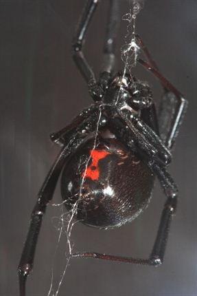 Photos 5 Dangerous Sa Spiders Parents Should Look Out For Parent24