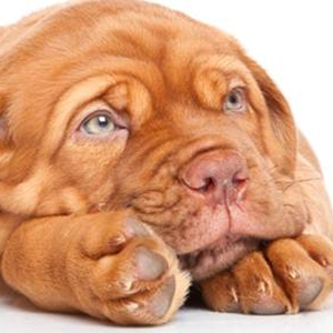 Treatment for blindness in dogs might help people