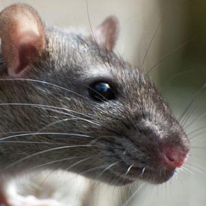 Rat. (File)