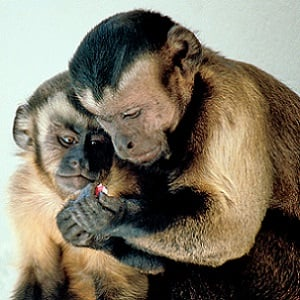 Many conservationists and animal welfare advocates are against keeping wild exotics such as these capuchin monkeys as pets.
