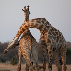 Questions And Answers About Giraffes In Captivity Health24