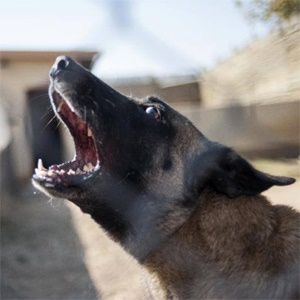Killer, South Africa's most successful poacher-catching canine, barks in his cage in the Kruger National Park. (Stefan Heunis, AFP)