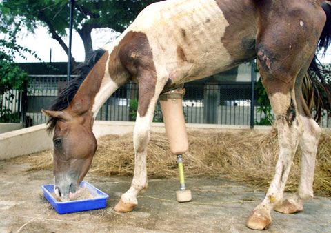 Macho the horse with a prosthetic leg