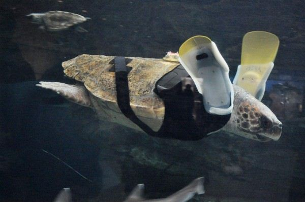 Yu Chan the turtle with prosthetic flippers