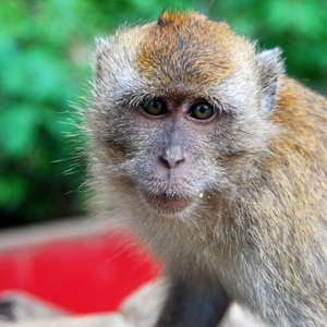 Macaque from Shutterstock