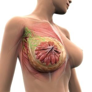 Female breast anatomy from Shutterstock