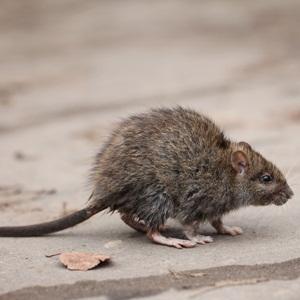 Gray rat from Shutterstock