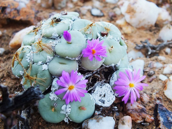 Conophytum sp. (Photo: WWF)