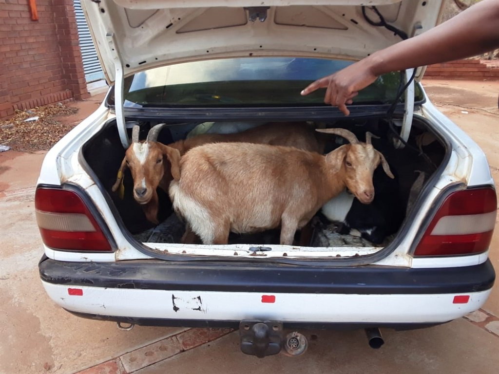 News24.com | Limpopo police rescue 'stolen' goats stashed in car boot