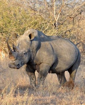 SANParks selling 286 white rhino