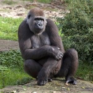 Female gorilla from Shutterstock