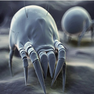 house dust mite close up