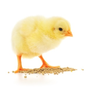 Baby chick at risk of bird flu