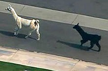WATCH: Llamas On The Loose - The Musical