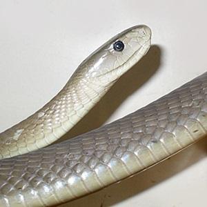 06d86cec6e9a4d78bb3be6f535cb7b2c can you identify these 12 dangerous snakes? health24
