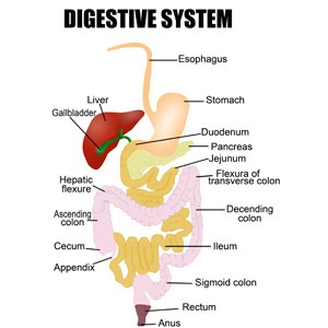 What are digestive disorders health24 diagram of the digestive system ccuart Gallery
