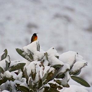 A bird seen in the snowfall in the Western Cape last winter. (Miriam Mannak, News24 user)