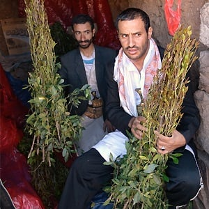 Two unidentified dealers of Khat (Catha Edulis) shown in Sanaa, Yemen. Khat contains an amphetamine alkaloid stimulant narcotic illegal in most countries. Photo: Oleg Znamenskiy / Shutterstock.com