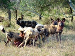 A pack of African wild dogs went on a killing spree in the UK during the 'storm of the century'