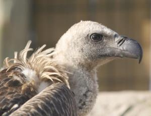White-backed vultures are severely threatened.