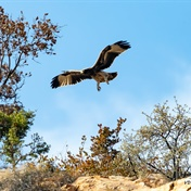 PICS | Excitement as Roodekrans black eagle chick takes to the skies