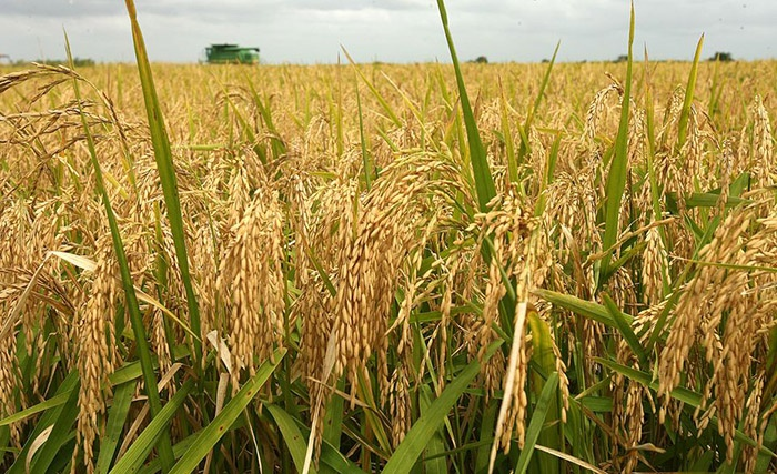 rice farming in borno, boko haram and drought
