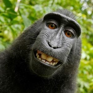 Monkey selfie - Google Free Images