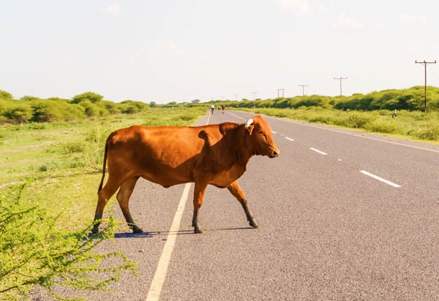 Image result for animals in road