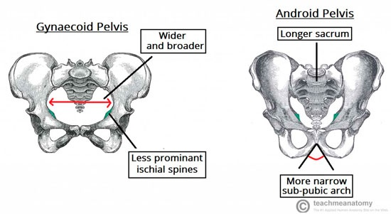 Different Pelvic Shapes And What They Mean For Your Birth Experience