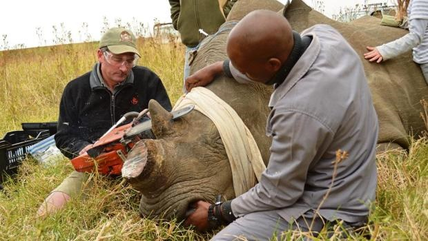 Wildlife vet Ryan van Deventer dehorns a rhino named Notch at Tala Private Game Reserve on Tuesday morning with the help of Siyabonga Ndlela.