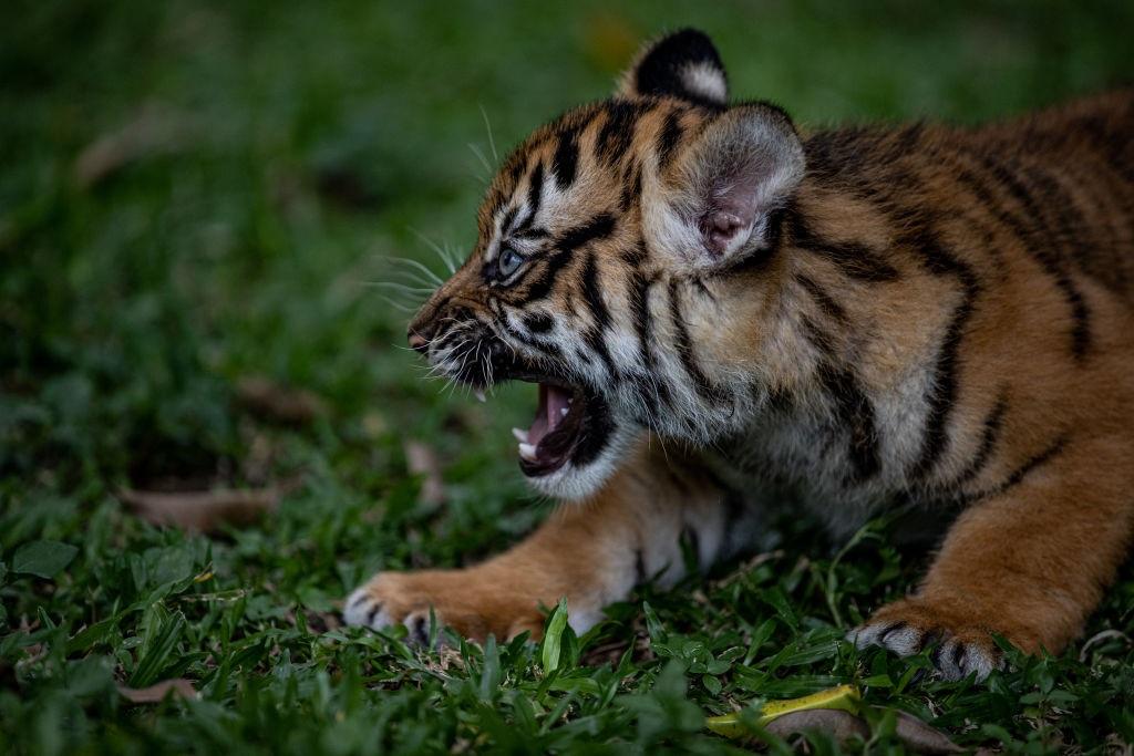 A Sumatran tiger seen at a zoo.