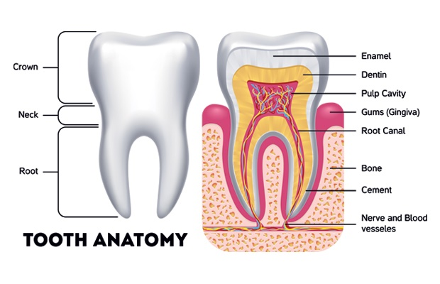 Illustration of tooth anatomy