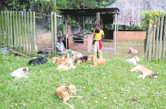 20 'tired and sick-looking' dogs were confiscated by police and taken to the Pietermaritzburg SPCA after they were found walking with five children along the railway tracks in Prestbury yesterday morning.