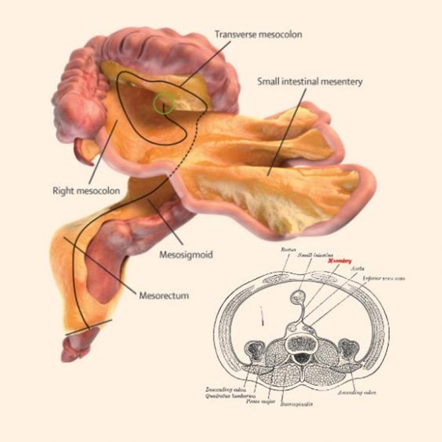 The mesentery, newly found digestive system organ