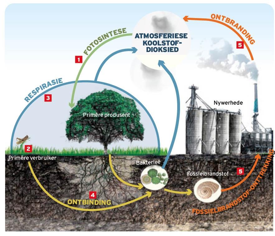 """DIE KOOLSTOFSIKLUS1. Plante gebruik koolstofdioksied uit die atmosfeer, water uit die grond en sonlig om hul eie """"kos"""" te vervaardig en dan te groei deur fotosintese. Die koolstof wat hulle uit die lig absorbeer, raak deel van die plant. 2. Diere wat op die plante voed, stuur die koolstofverbindings verder langs die voedselketting. 3. Die meeste van die koolstof wat diere opneem, word omgeskakel na koolstofdioksied soos hulle asemhaal (respirasie) en word sodoende terug in die atmosfeer vrygestel.4. Wanneer die diere en plante doodgaan, word die dooie organismes deur ontbinders in die grond (bakterieë en swamme) gevreet. Die koolstof in hierdie organismes beland weer as koolstofdioksied terug in die atmosfeer. 5. In party gevalle word die dooie plante en diere begrawe om dan oor miljoene jare te verander in fossielbrandstof, soos steenkool en olie. Die mens brand hierdie fossielbrandstof om energie te verwek, wat vervolgens die meeste van die koolstof terug in die atmosfeer laat beland in die vorm van koolstofdioksied."""