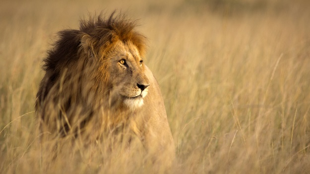 South Africa has been criticised for allowing the breeding of lions for hunting and the sale of their bones to East Asia