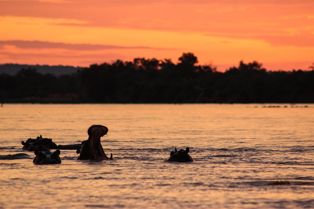 Hippos yawning in the Ruaha River at sunset