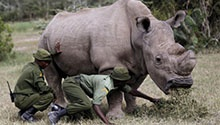 The world's last male northern white rhino gets a Tinder profile?