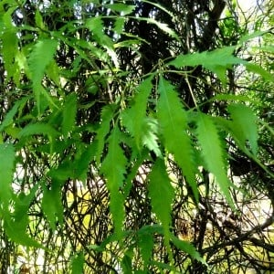 african poison ivy causes skin allergy
