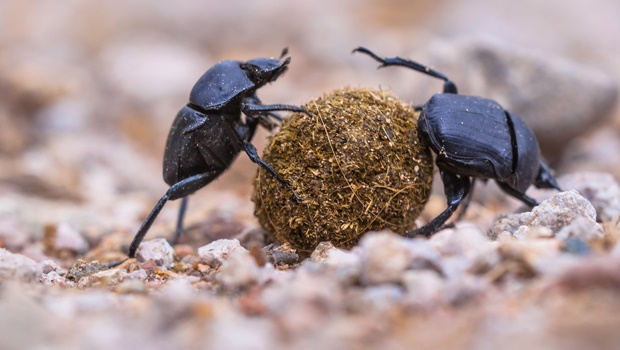 Dung beetles: nature's most resourceful waste collectors