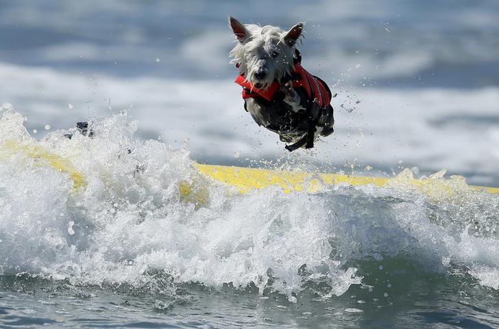 Surf Dog Joey, a West Highland Terrier, bails on his surfboard while competing in the Surf City surf dog competition in Huntington Beach