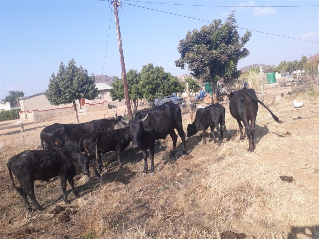The cattle believed to be stolen. (Supplied: SAPS)