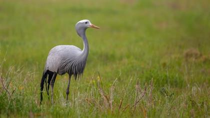 Know your nation: why the Blue Crane is honoured amongst