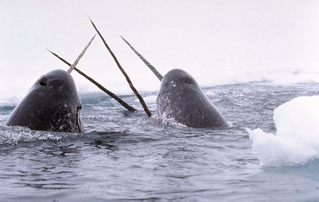 Narwhals PHOTO: Wikimedia commons