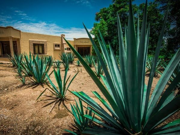 The tequila plant. Photo: pixabay.com