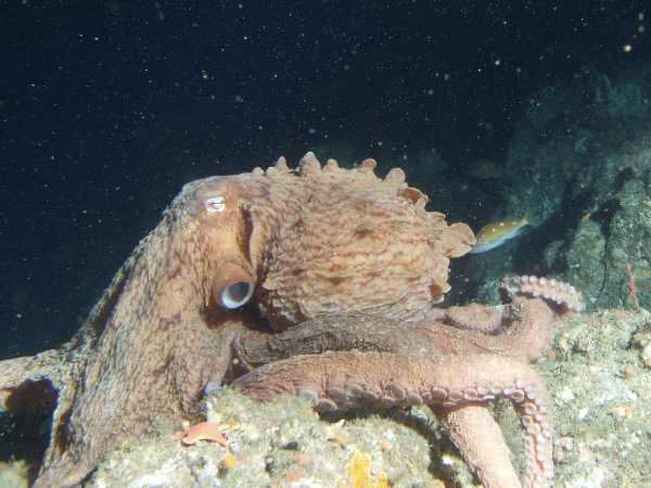 The Pacific octopus. PHOTO: wikipedia