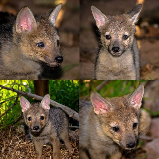 These four black backed jackal pups (2 males and 2 females) are amongst the over 400 injured and orphaned animals that have been rescued and admitted to the CROW centre over the past 6 weeks. PHOTO: facebook.com/crow.kzn