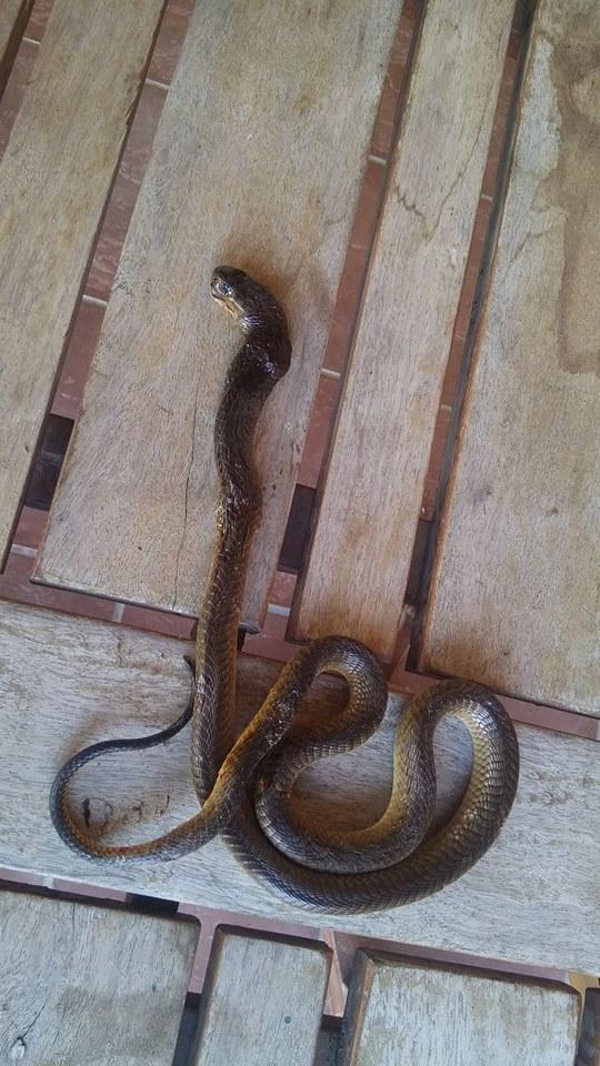 The cobra was slithering around Tracey's garage. PHOTO: KFM/Facebook