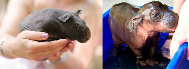 Left, shaved guinea pig. Right, baby hippo. Or was it the other way around ... PHOTO: bforbel.com